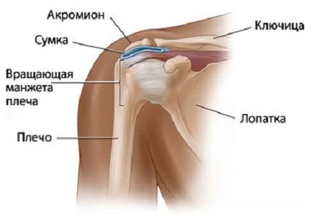 Ris.-3-Anatomiya-plecha
