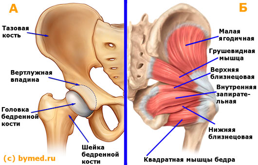 anatomija-tazobedrennogo-sustava