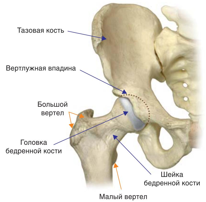 Тазобедренный сустав анатомия что с чем соединяется все анатомические элементы сустава появляются у